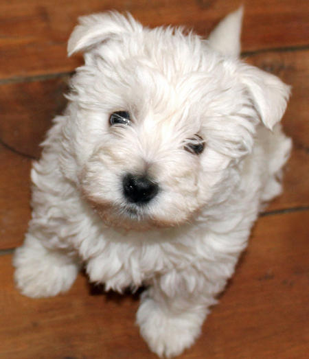 Madison the West Highland Terrier | Puppies | Daily Puppy