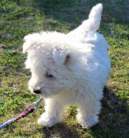 Madison the West Highland Terrier Pictures 816076