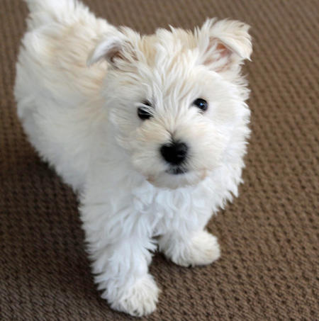 Madison the West Highland Terrier Pictures 816078
