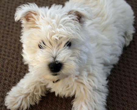 Madison the West Highland Terrier Pictures 816072