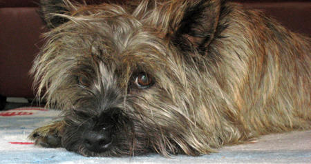 Maggie Mae the Cairn Terrier  Pictures 769578