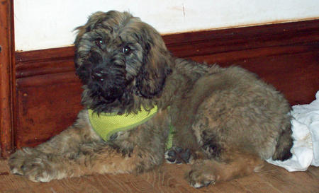 Maggie Mae the Giant Schnauzer Mix Pictures 1015436