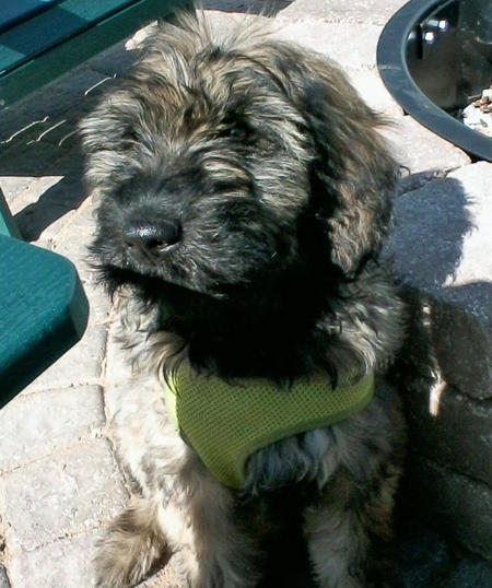 Maggie Mae the Giant Schnauzer Mix Pictures 1015439