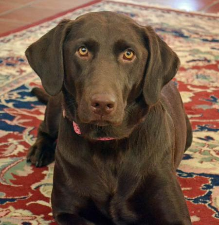 Maggie May the Labrador Retriever Pictures 978161