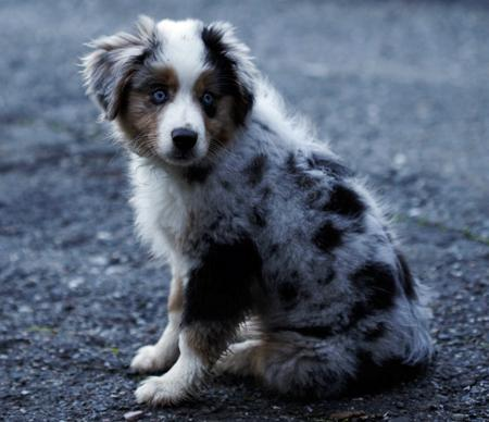 Maggie the Australian Shepherd Pictures 705077