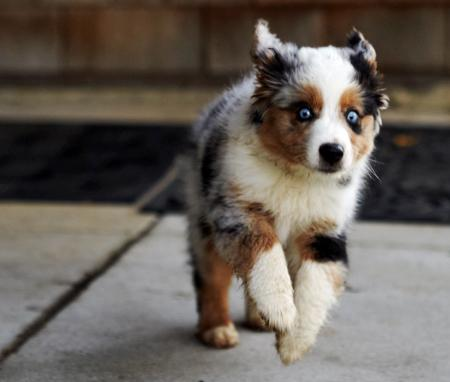 Maggie the Australian Shepherd Pictures 705078