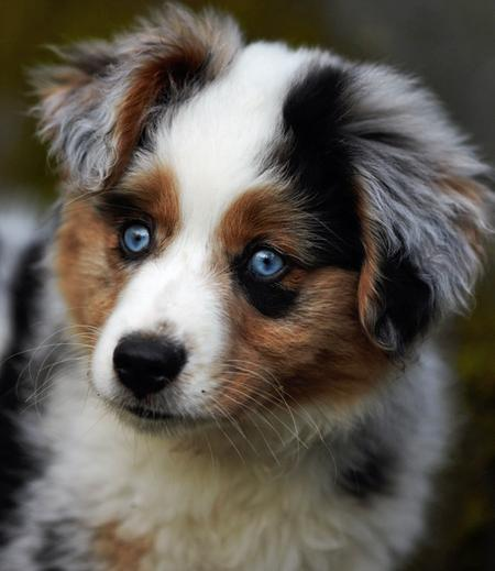 Maggie the Australian Shepherd Pictures 705081