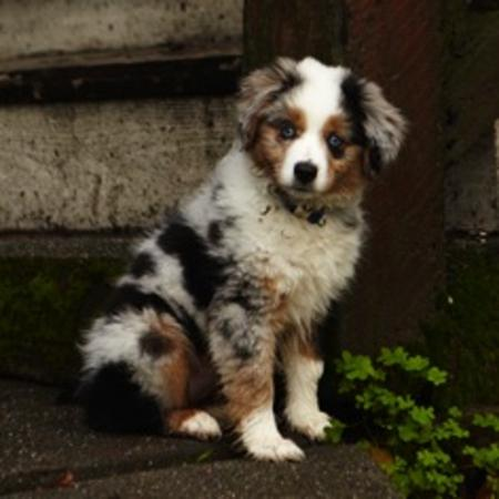 Maggie the Australian Shepherd Pictures 705075