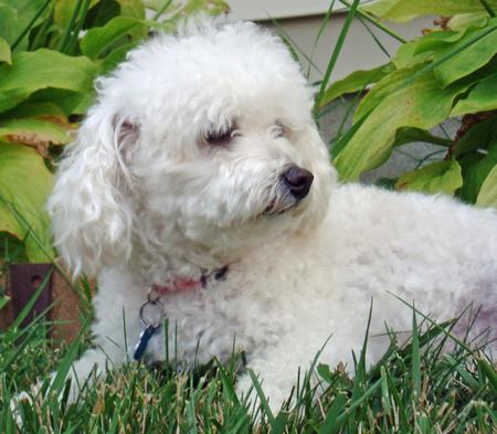 Bichon Frise' Stuffed Animals Dogs