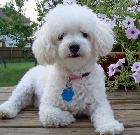 Maggie the Bichon Frise Pictures 633265