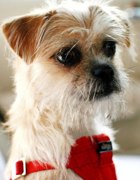 Maggie the Border Terrier Mix Pictures 813436