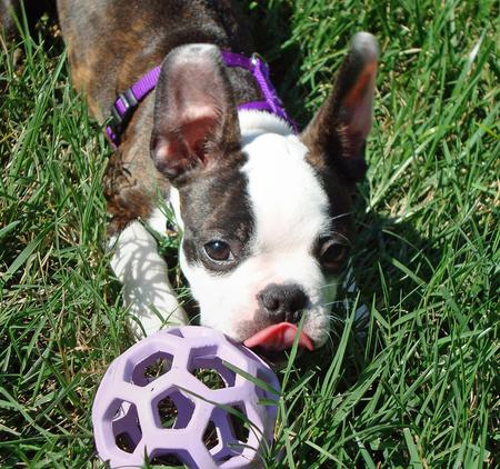 Maggie the Boston Terrier Pictures 426420
