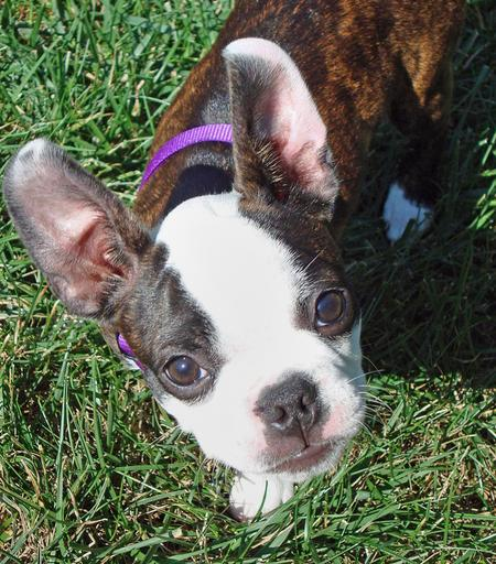 Maggie the Boston Terrier Pictures 426421