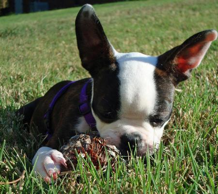 Maggie the Boston Terrier Pictures 426423