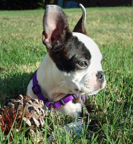 Maggie the Boston Terrier Pictures 426424