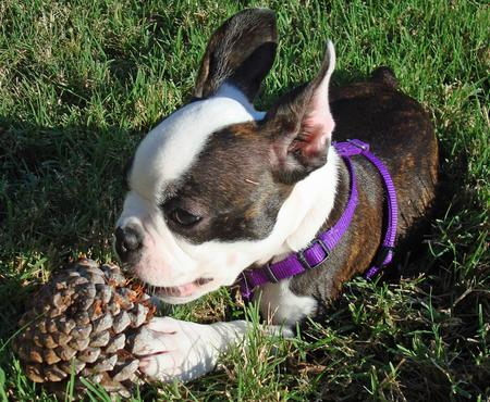 Maggie the Boston Terrier Pictures 426425