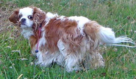 Maggie the Cavalier King Charles Spaniel Pictures 837711