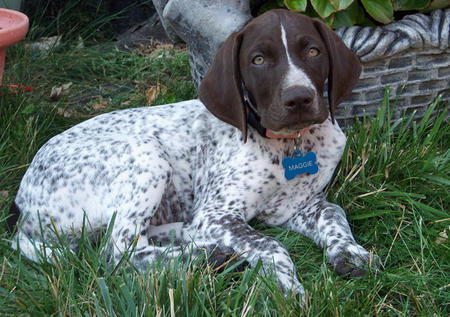 Maggie the German Shorthaired Pointer Pictures 943801