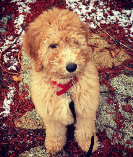 Maggie the Goldendoodle Pictures 1004333