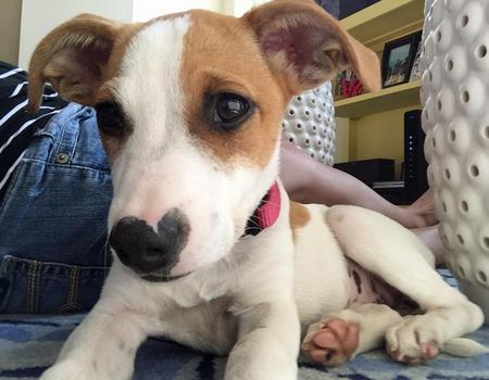 Maggie the Rat Terrier Mix Pictures 1043878