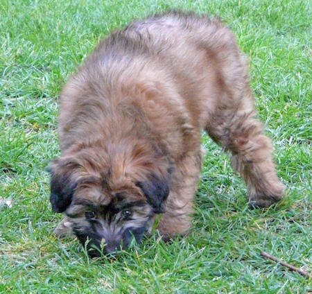 Maggie the Soft Coated Wheaten Terrier Pictures 909452