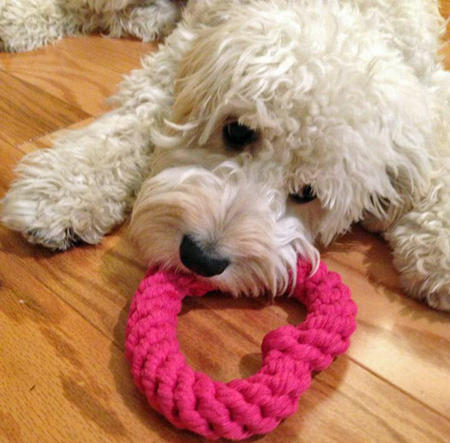 Magnolia the Goldendoodle Pictures 955644