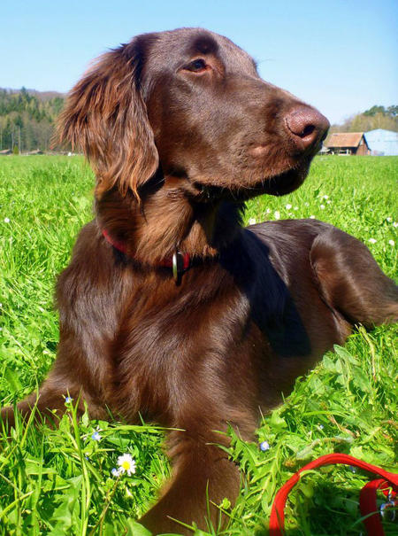 Magnum the Flat Coated Retriever Pictures 1039964