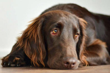 Magnum the Flat Coated Retriever Pictures 1039965