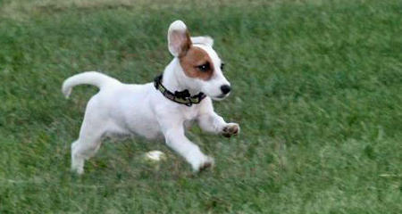 Malcolm the Jack Russell Terrier Pictures 950125