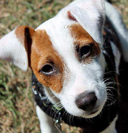 Malcolm the Jack Russell Terrier Pictures 950124