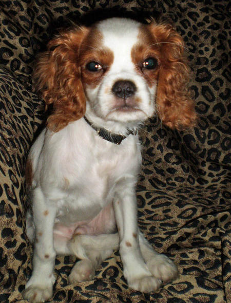 Malikah the Cavalier King Charles Spaniel Pictures 1002148