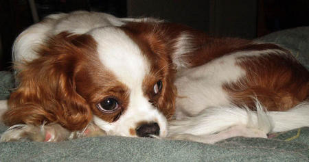 Malikah the Cavalier King Charles Spaniel Pictures 1002150
