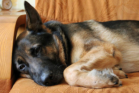 Malysh the German Shepherd Pictures 1040948