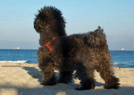 Manchita the Poodle Pictures 971160