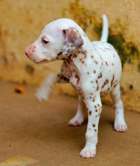 Mango the Dalmatian Pictures 964624