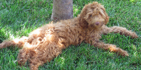 Mango the Goldendoodle Pictures 795717