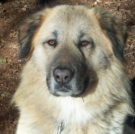 Manny the Anatolian Shepherd Pictures 784972