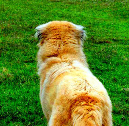 Manny the Anatolian Shepherd Pictures 784973