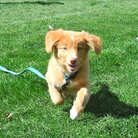 Maple the Nova Scotia Duck Tolling Retriever Pictures 999623