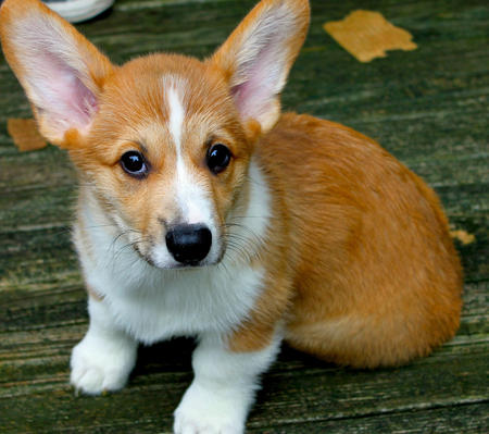 Marcel the Pembroke Welsh Corgi Pictures 803499
