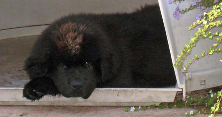 Marky the Newfoundland Pictures 985525