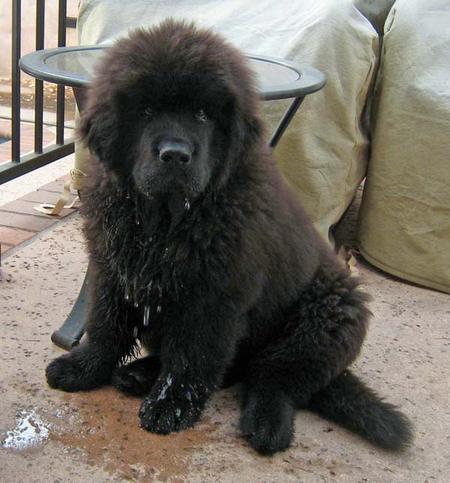 Marky the Newfoundland Pictures 985521