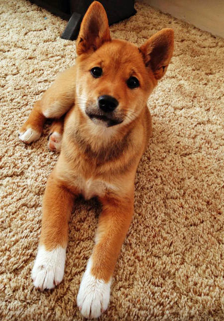 Marla the Shiba Inu Mix Pictures 982274