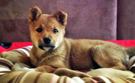 Marla the Shiba Inu Mix Pictures 982275