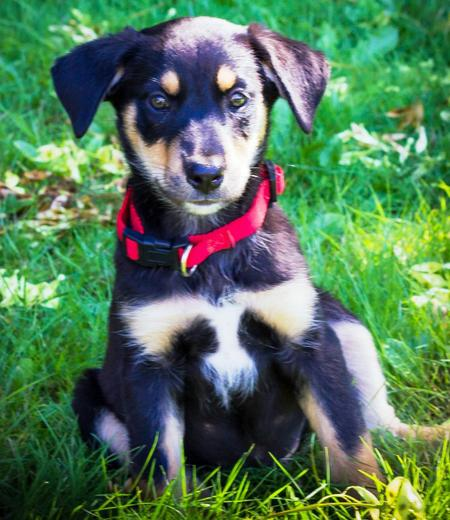 Marley the Australian Shepherd Mix Pictures 985639