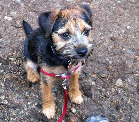 Marley the Border Terrier Pictures 972087