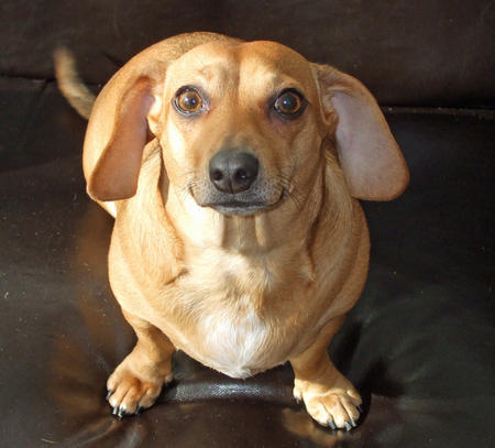 Marley the Dachshund Mix Pictures 786713