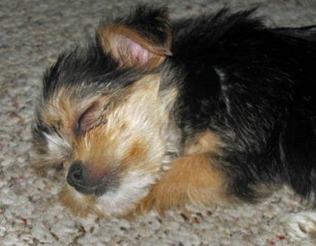 Martini the Yorkie Mix Pictures 605308