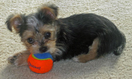 Martini the Yorkie Mix Pictures 605303