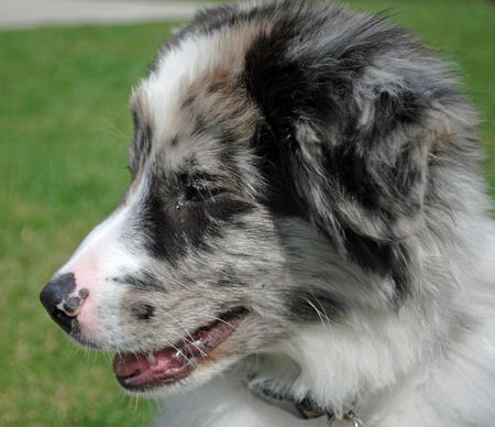 Mason the Australian Shepherd Pictures 775041